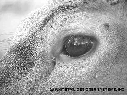 Whitetail Deer Eye Reference Photo