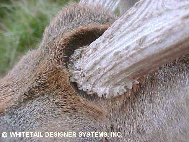 Whitetail reference photo of the hair pattern around the antler burrs.