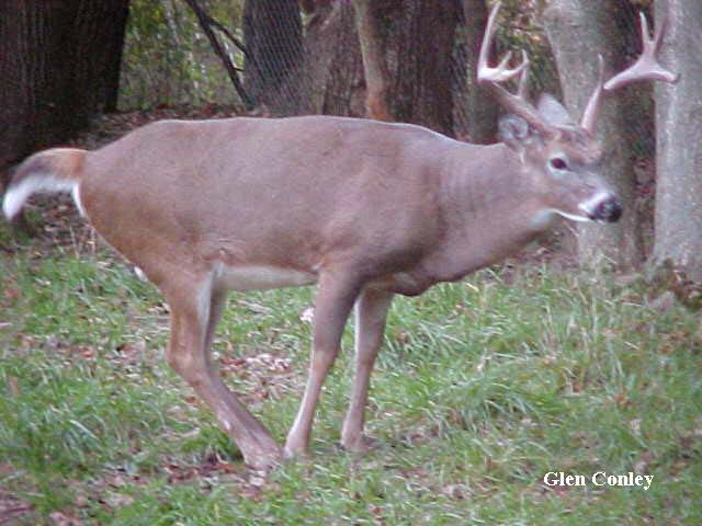 Highly Coveted Pic of Buck Deer Urinating on Tarsal Glands.