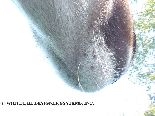 whitetail deer chin underside photo
