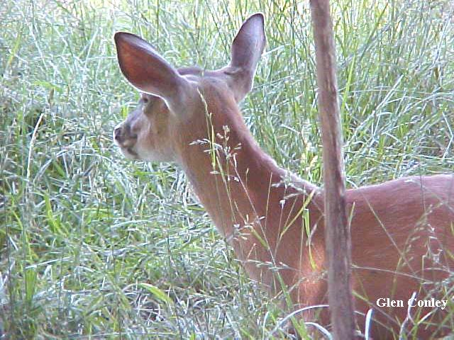 deer ears forward reference photo