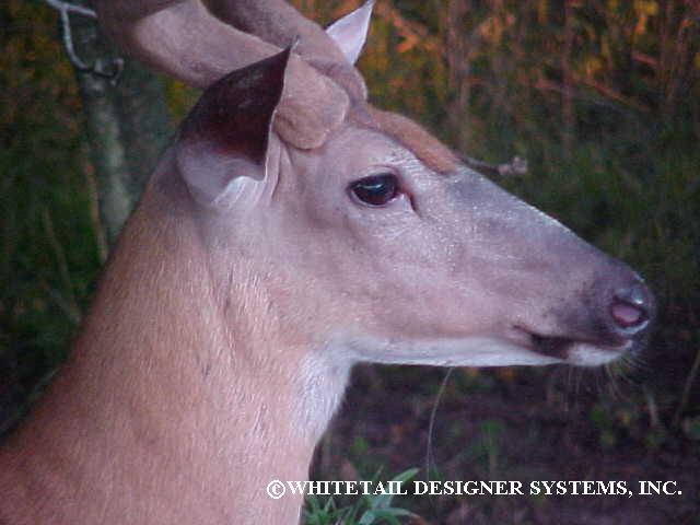 mature whitetail buck picture