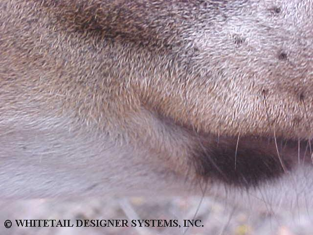 deer reference photo of a whitetail deer mouth corner