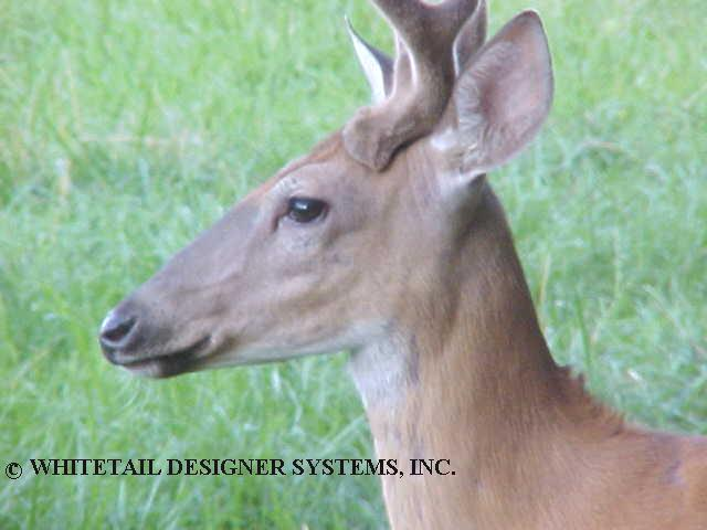 yearling whitetail buck picture