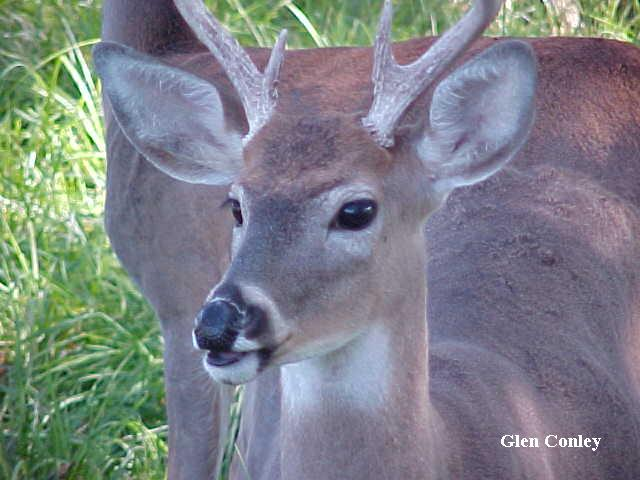yearling whitetail buck